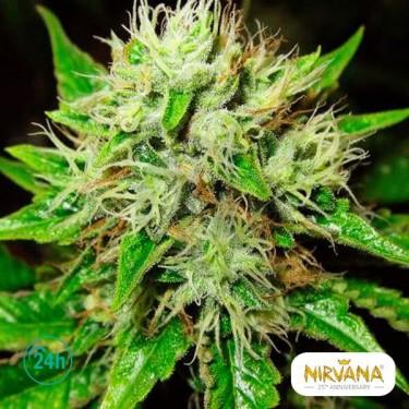 OG Kush Autofloreciente planta de marihuana