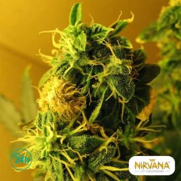 Northern Light Autofloreciente planta de marihuana