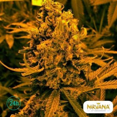 Blueberry Kush Autofloreciente planta de marihuana
