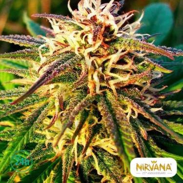 Blue Mystic Autofloreciente planta de marihuana
