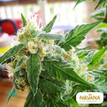 Ak 48 Autofloreciente planta de marihuana