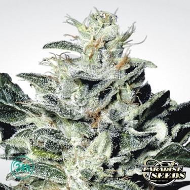 Sensi Star planta de marihuana