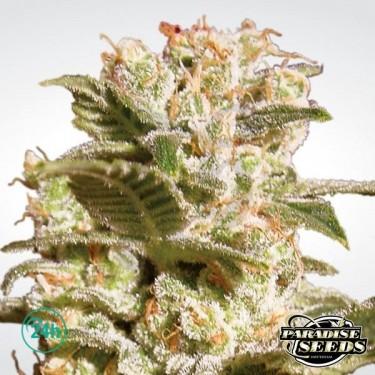 Belladonna planta de marihuana