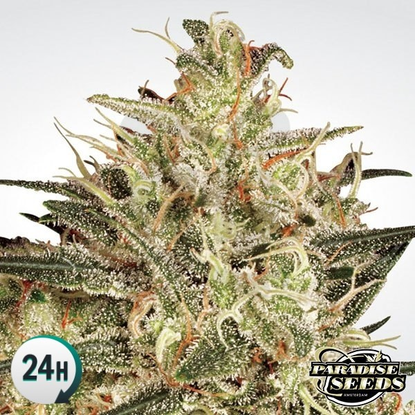 Atomical Haze Plante de marijuana