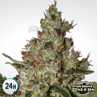 Acid  cannabis plant