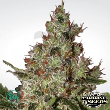 Acid planta de marihuana