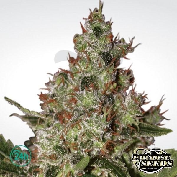 Acid Plante de cannabis