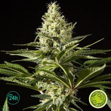 Black Bomb planta de marihuana