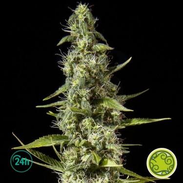 Early Maroc planta de marihuana