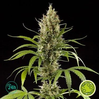 Easy Haze/K 13 Haze planta de marihuana