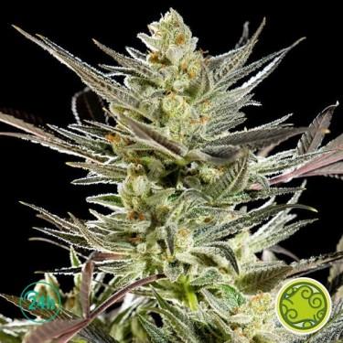 Fruity Jack/Jack El Frutero planta de marihuana