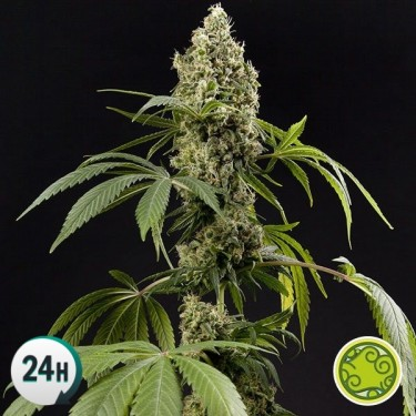 Guava Berry Kush/Guayita planta de marihuana