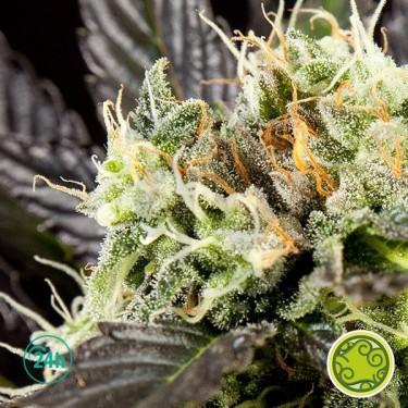 Heaven's Fruit planta de marihuana