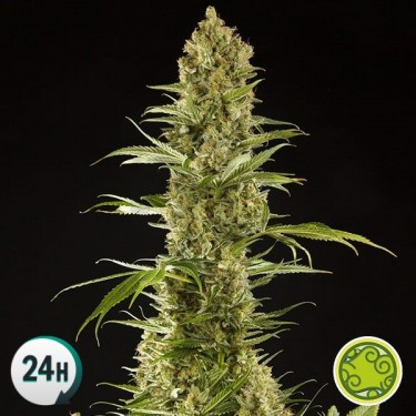 Sugar Pop planta de marihuana