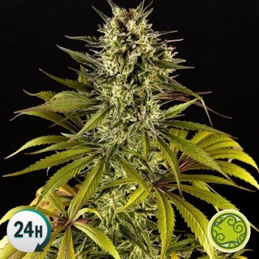 Spicy CBD/Superjuani planta de marihuana