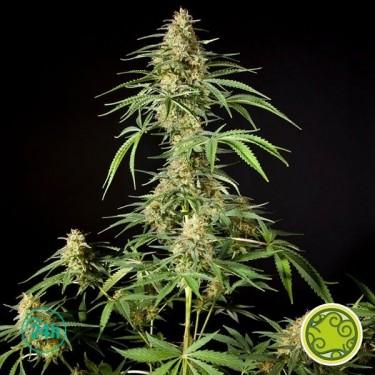 Philo Skunk/Gokunk planta de marihuana