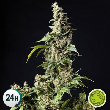 Orange Candy/Naranchup planta de marihuana