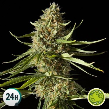 Amnesika 2.0 planta de marihuana