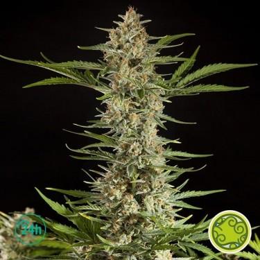 Fraggle Skunk Auto planta de marihuana