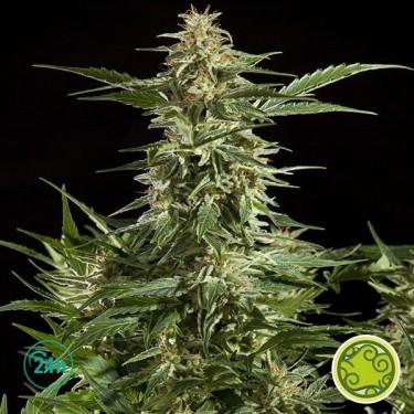 Lemon Auto CBD planta de marihuana