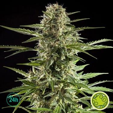 Cheesy Auto CBD planta de marihuana