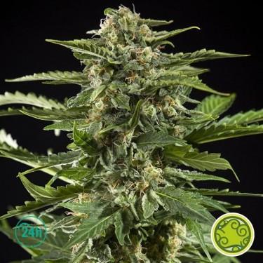 Cheesy Auto planta de marihuana