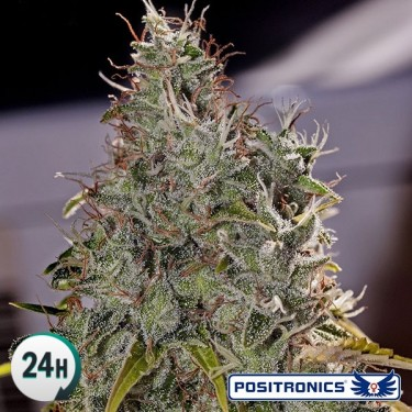 Amnesia Mistery planta de marihuana