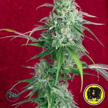 Juanita la Lagrimosa Cannabis Plant