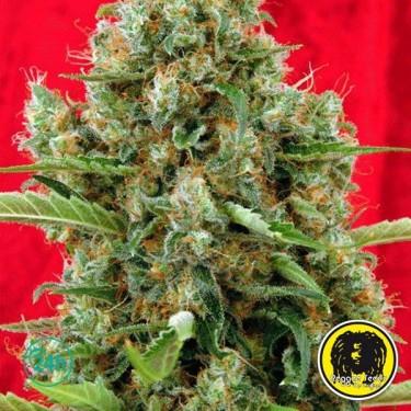 Session regular planta de marihuana