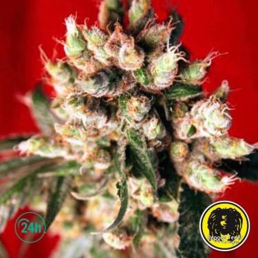 Roots Régulière Plante de marijuana