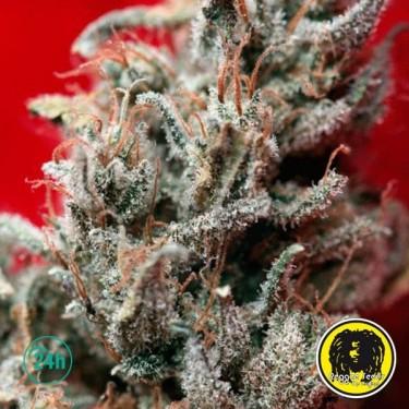 O'Haze Red Cannabis Plant