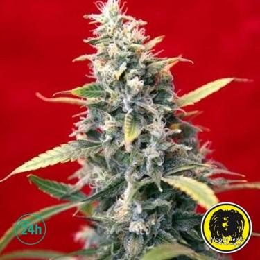 Sra. Amparo Cannabis Plant
