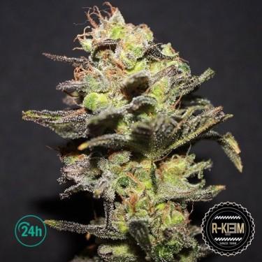 Plante de marijuana Icer