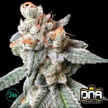 BT7 Marijuana Plant