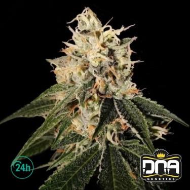 Sour Juice Marijuana Plant