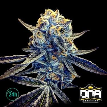 Tangieland Marijuana Plant