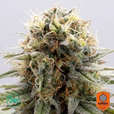 GSC Marijuana Plant