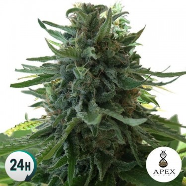 Alaska's Flavor planta de marihuana
