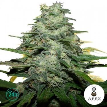 Blue Monkey planta de marihuana