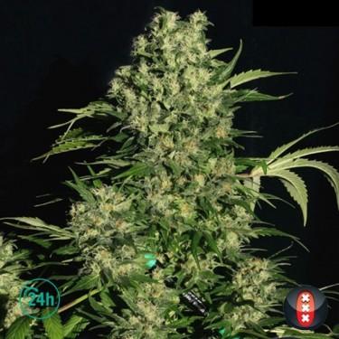 Chronic Regular cannabis plant