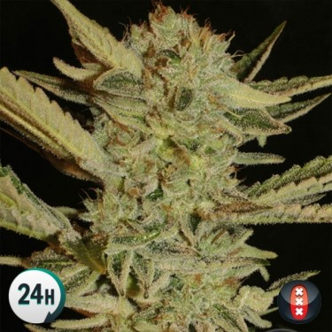 Bubble Gum Regular cannabis plant