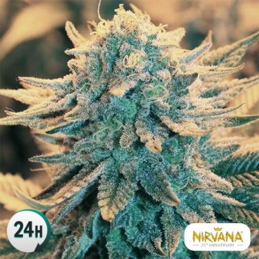 B52 Plante de marijuana
