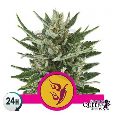Plante de marijuana Speedy Chile Fast Version