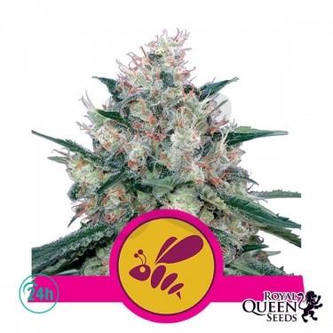 Plante de marijuana Honey Cream fast Version