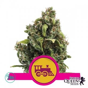Plante de marijuana Candy Kush Fast Version