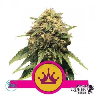 Special Queen 1 cannabis plant