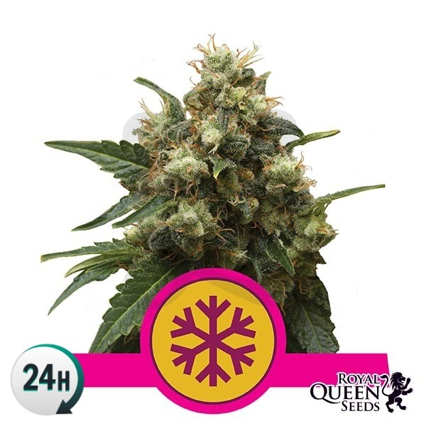 Ice cannabis plant