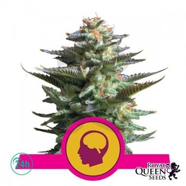Amnesia Haze cannabis plant
