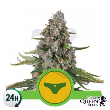 Sherbet Queen Automatic