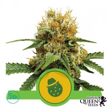 Plante de marijuana Do-Si-Dos Automatic